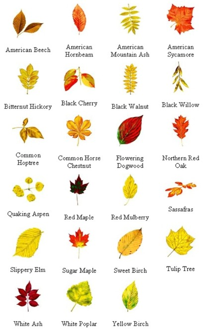 Fall Leave Guide081106_012347